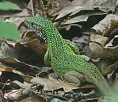 Ještěrka zelená (foto Votavovi)