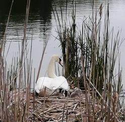 Labuť s mláďaty na hnízdě